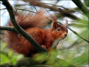 red+squirrel
